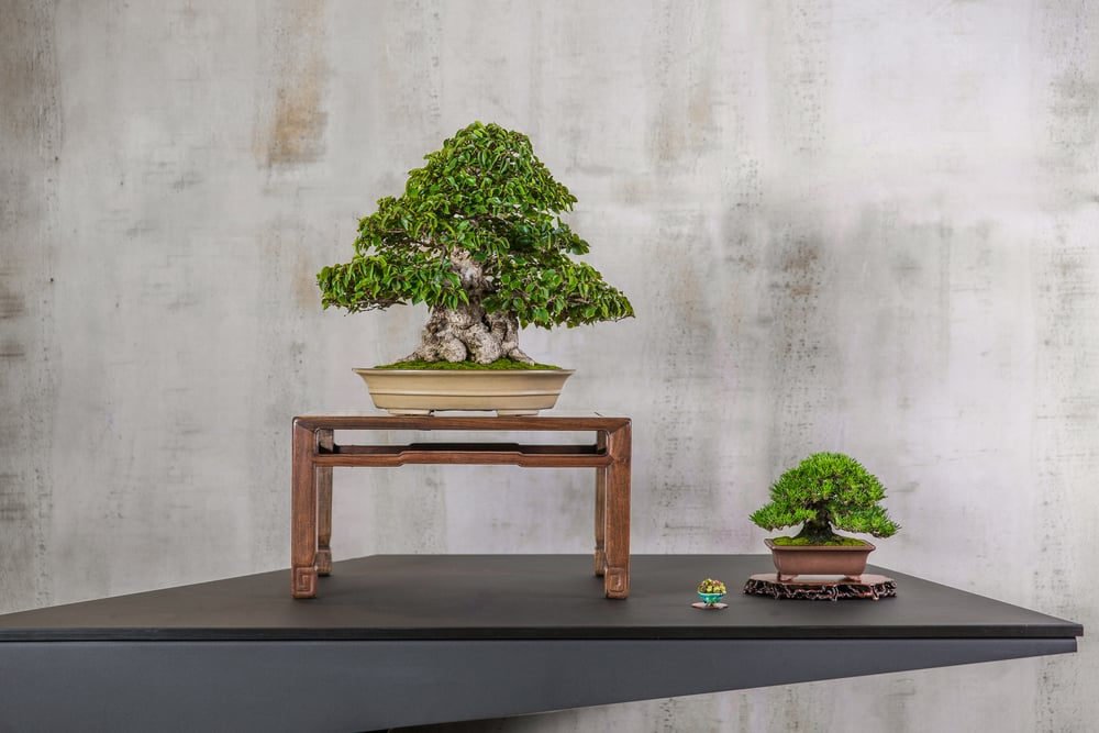 13 KOREAN HORNBEAM
