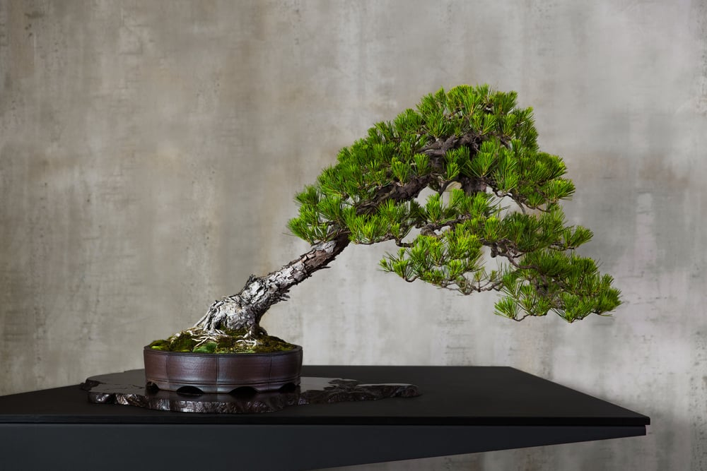 23 JAPANESE RED PINE