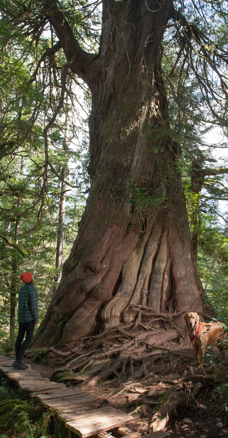 Meares Island, Tofino, Big Tree Trail, Cedar, Trees, Nature, Adventure, Tours, Hike, Hiking