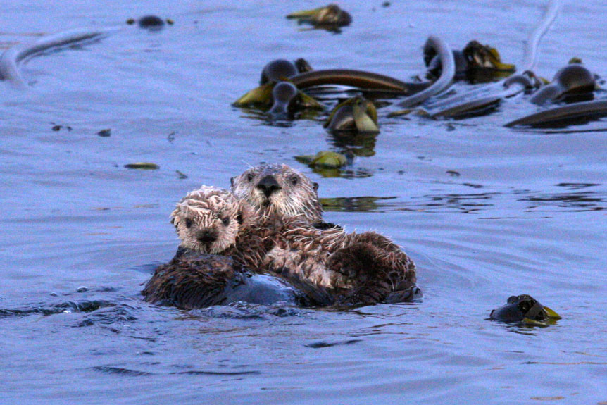 Tofino BC Wildlife Tours. A couple of sea otters hanging out!