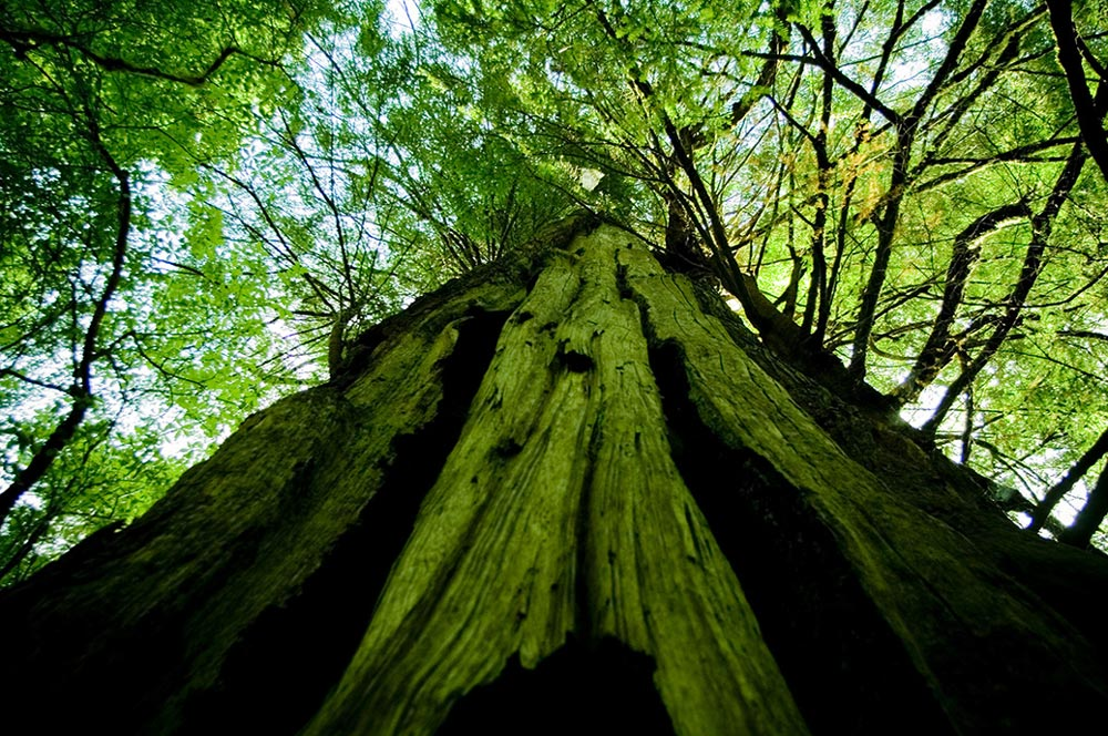 Meares Island Big Tree Tours from Tofino, BC on Vancouver Island.