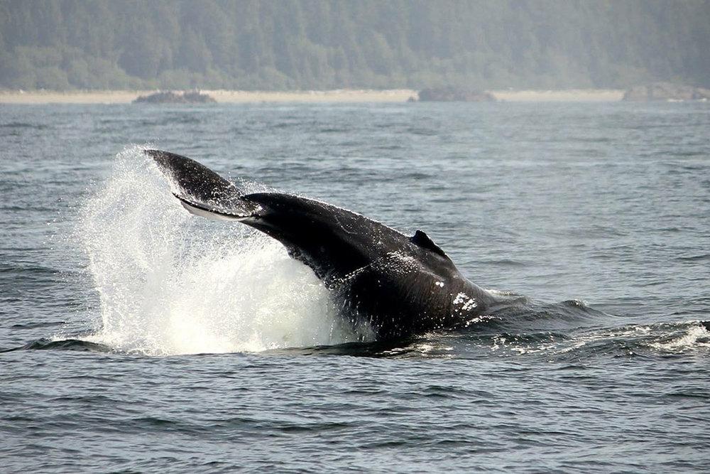 Humpback Whale in Tofino BC mid tail-lop!