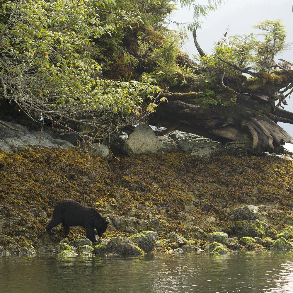 black-bears-tofino-bc.jpg