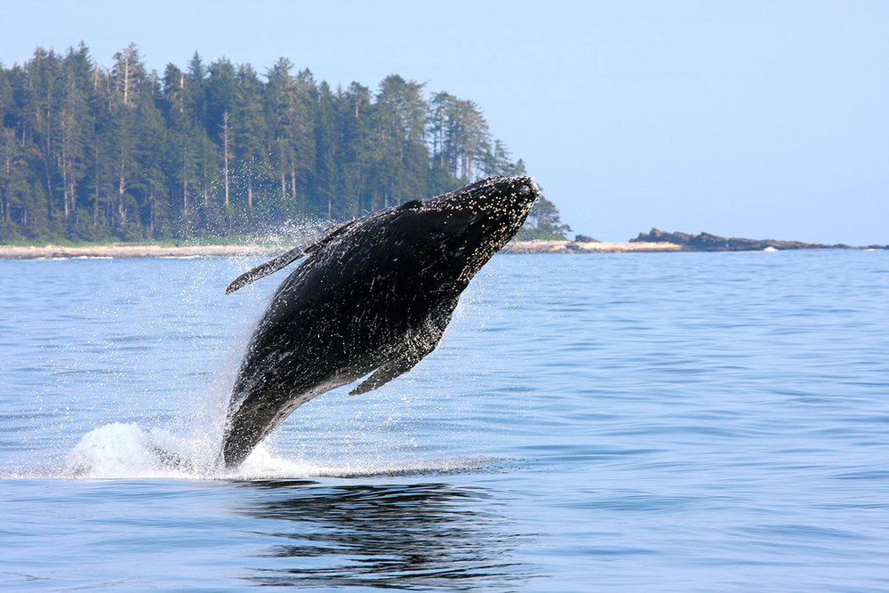 MJ, the famous Tofino humpback having some fun!