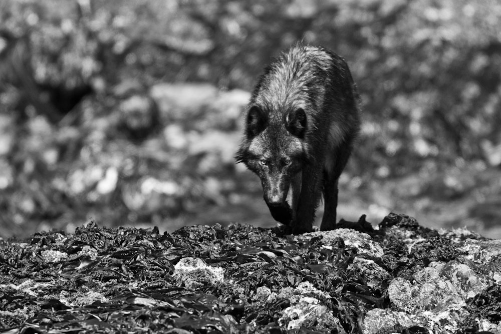 A coastal wolf on Vargas Island, just north of Tofino, BC