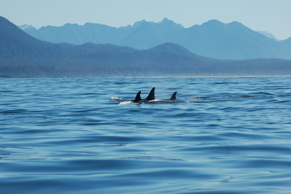 Transient Killer Whales in Tofino, BC.