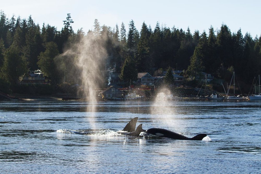 Transient Orca in Tofino Harbour.