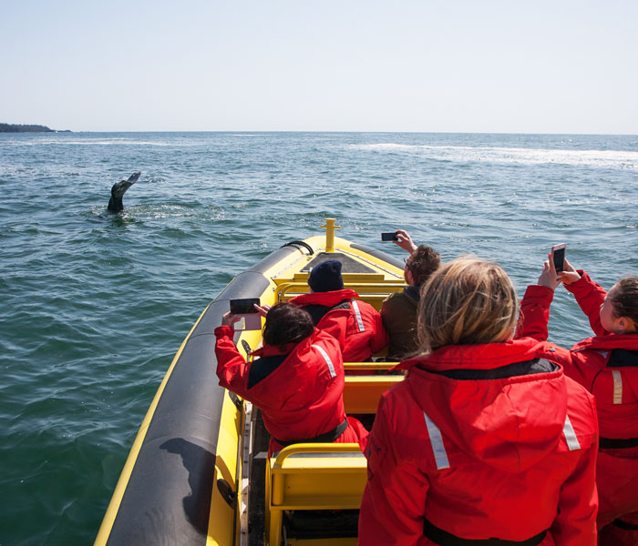 Our Wildside Zodiac Whale Watching Boat Spotting A Whale.