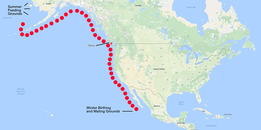 Gray Whale Migration Map