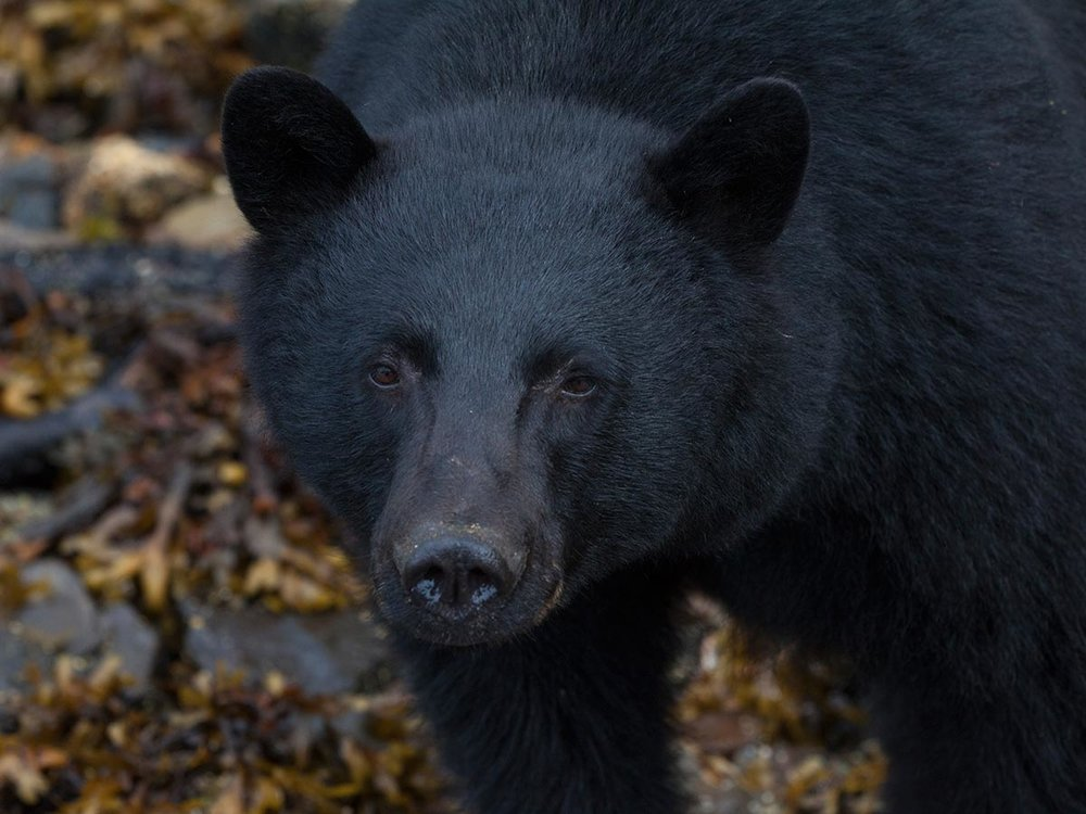 Close up photo of a black bear on the coast in Tofino, BC.