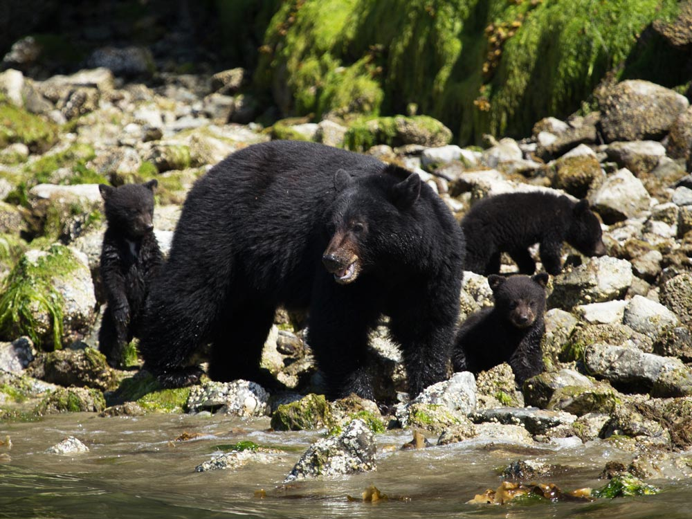 Black Bear with her cubs in Tofino, BC.