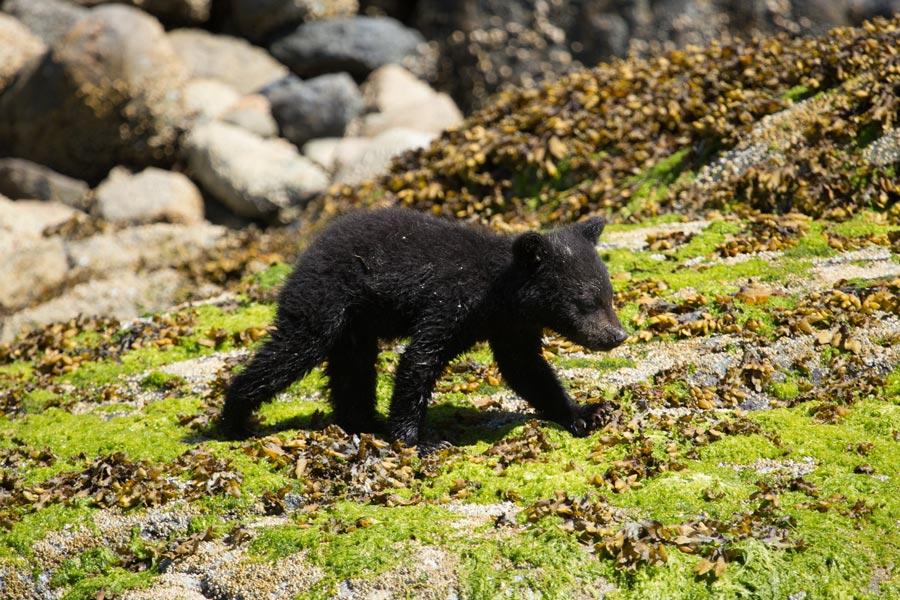 Black bear cub on the shoreline in Tofino, BC.