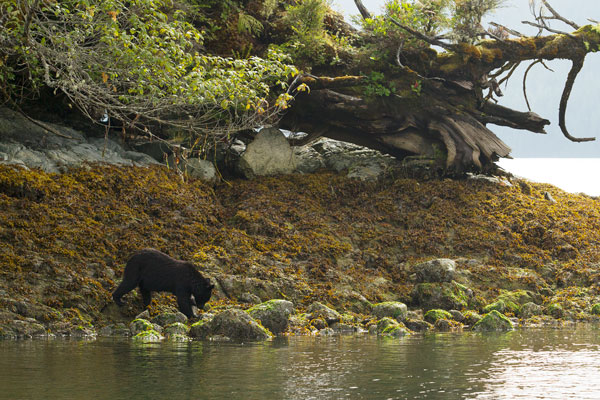 Black Bear in the intertidal zone in Tofino, BC.