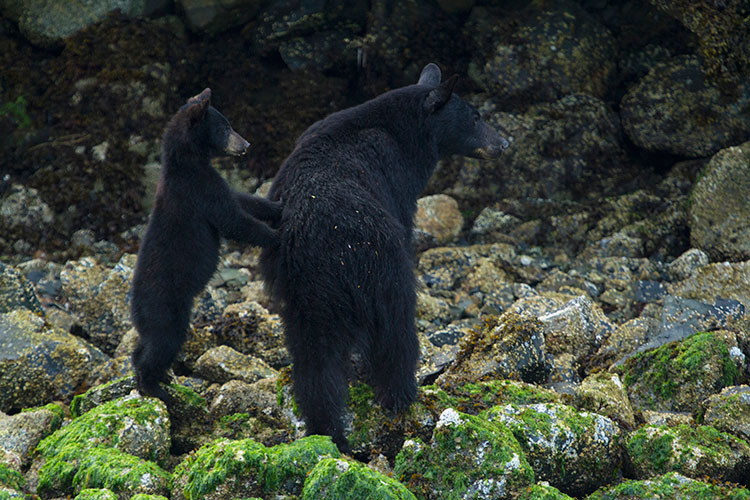 A black bear and her cub on the Tofino Coastline.