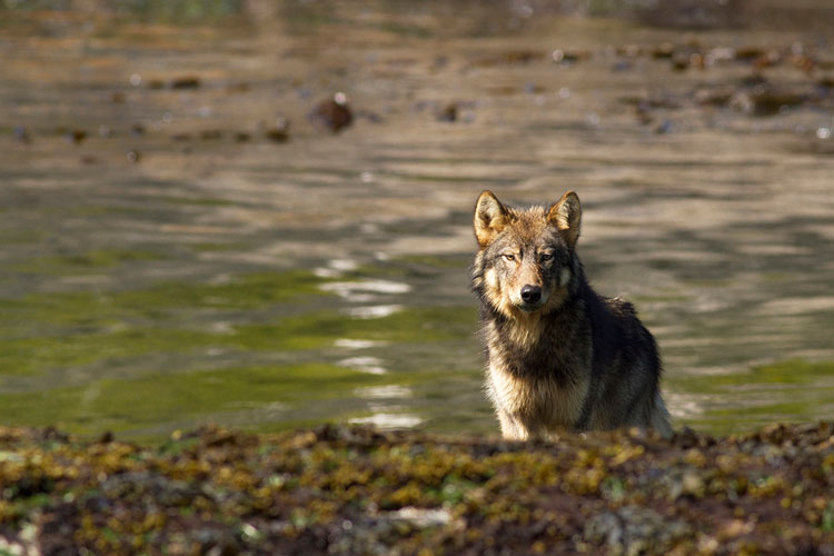 A lone wolf coming down to the shoreline for some food.