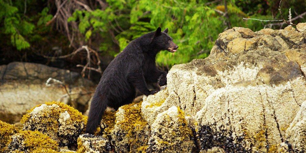 bear-on-the-beach-tofino.jpg