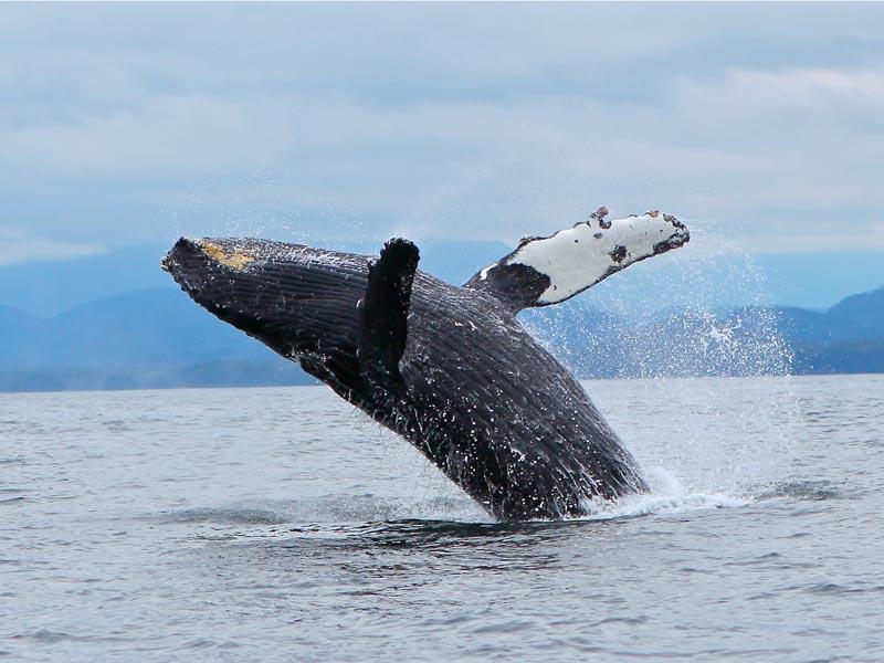 breaching-humpback-whale-tofino.jpg