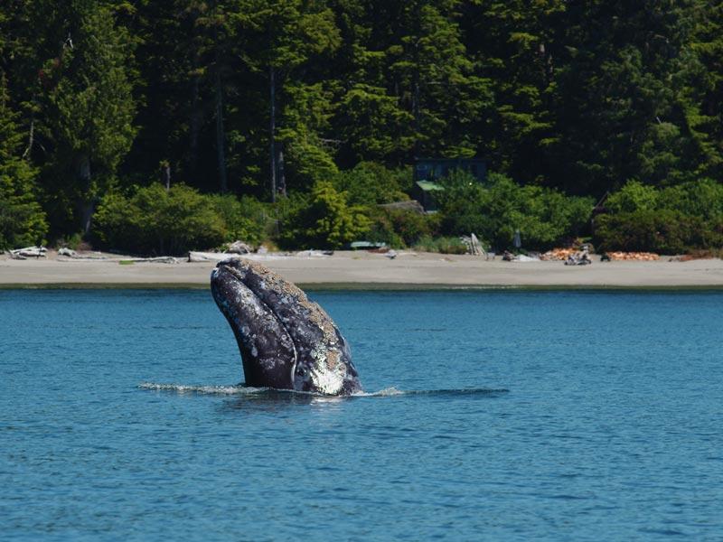 grey-whale-spyhopping-tofino-cove.jpg