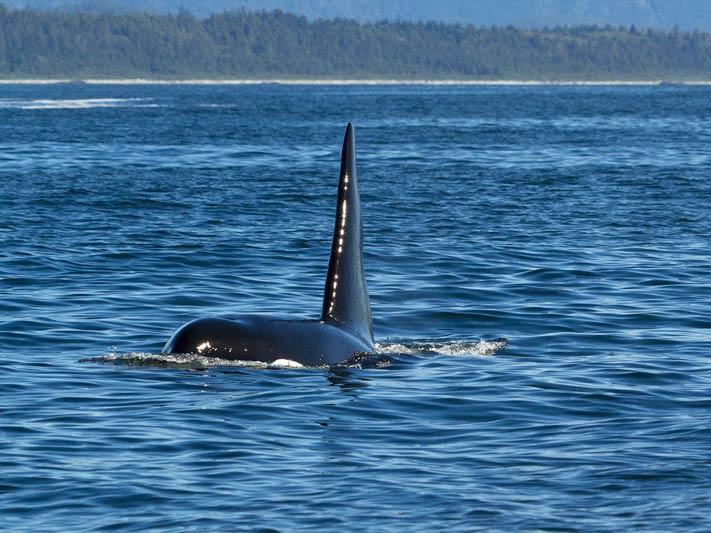 killer-whale-dorsal-fin.jpg
