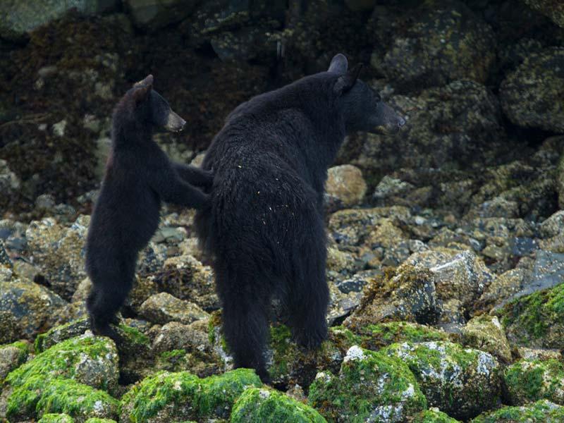 bear-watching-zodiac-boat-6.jpg