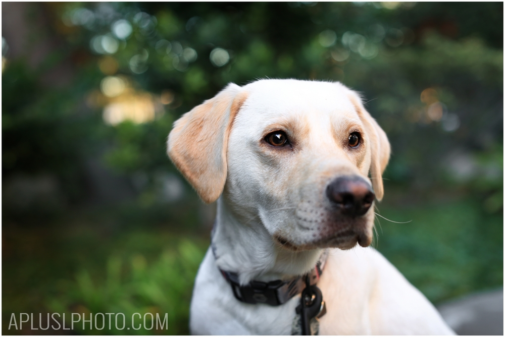 Yellow Lab - Pet Photography
