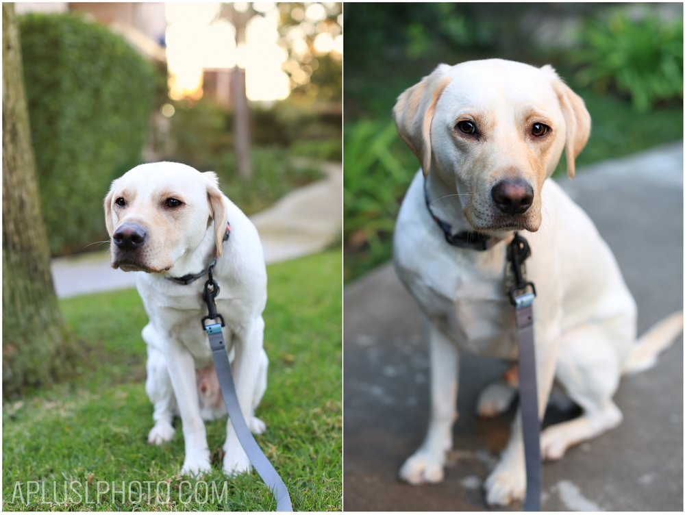 Labrador Retriever - Pet Photography