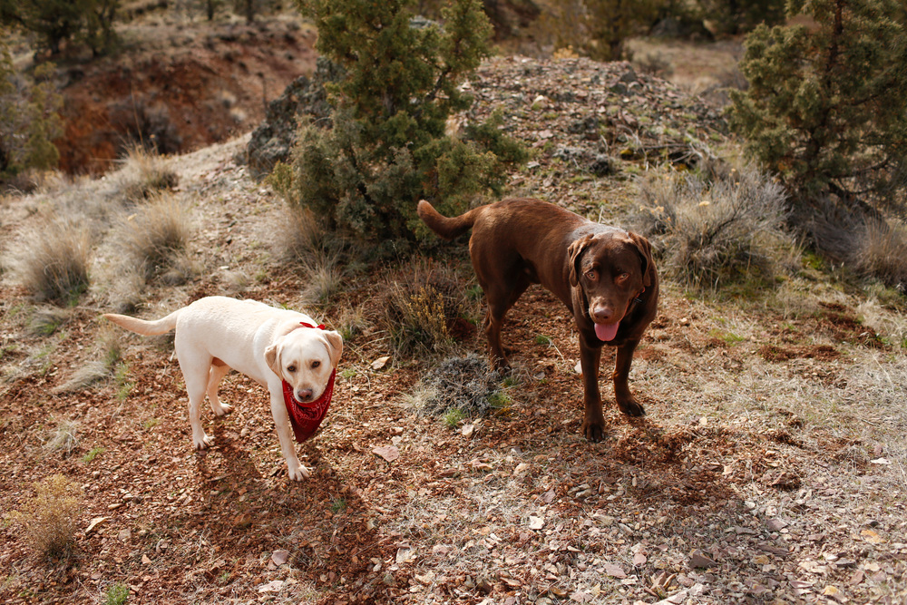 Labrador Retrievers in The Painted Hills