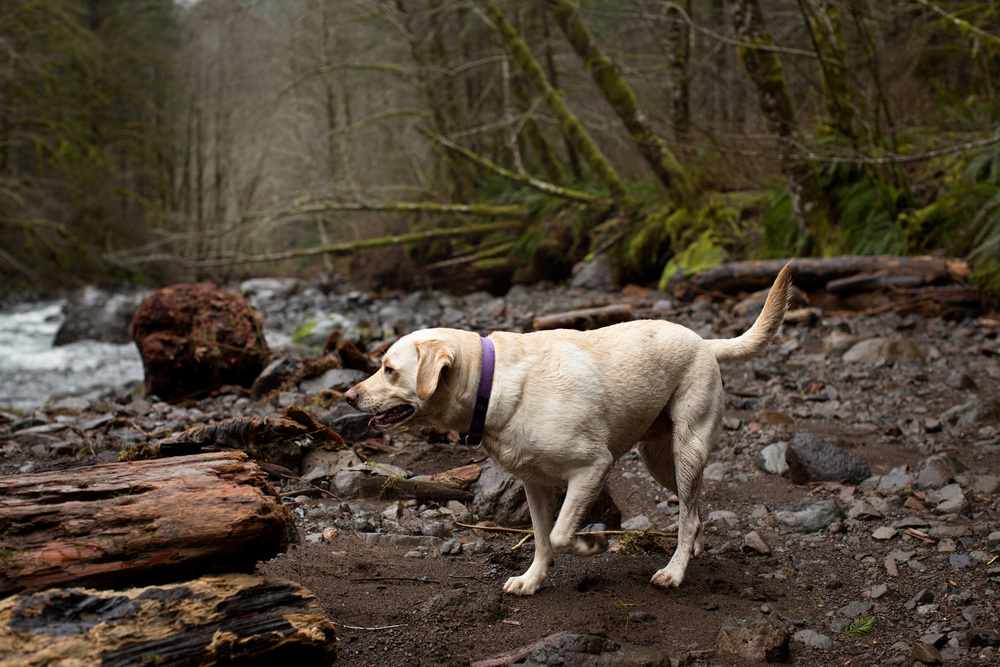 Sailor the Yellow Lab | Wilson River Trail | A Plus L Photo