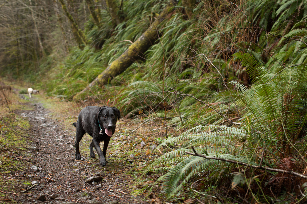 Echo the Black Lab | Wilson River Trail | A Plus L Photo