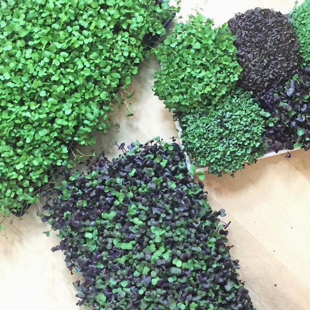Little Wild Things Microgreens