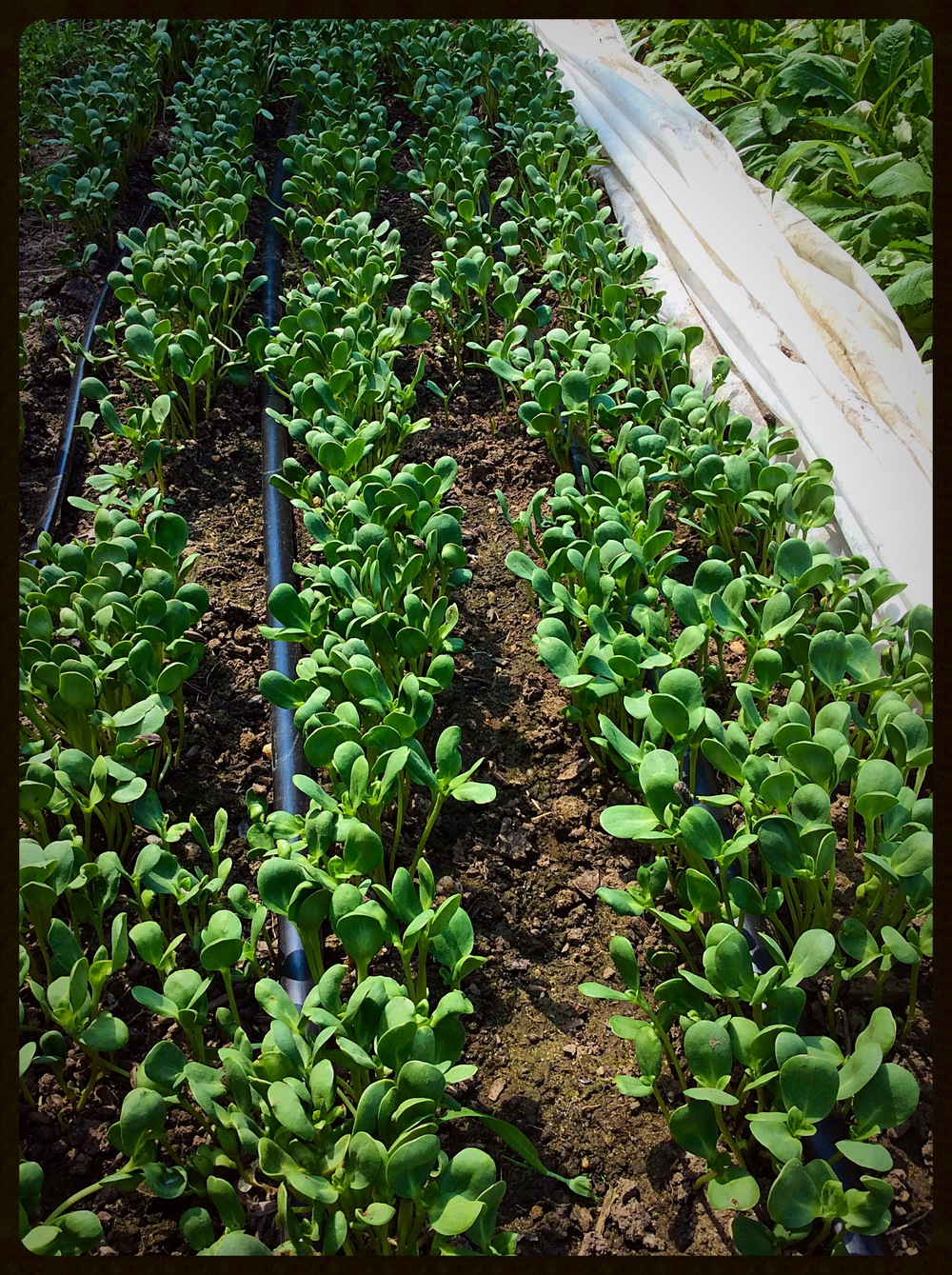 Field-grown sunflower shoots