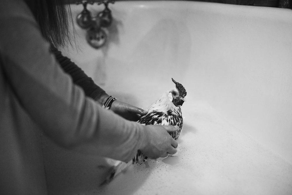 raven-chickens-7851.jpg