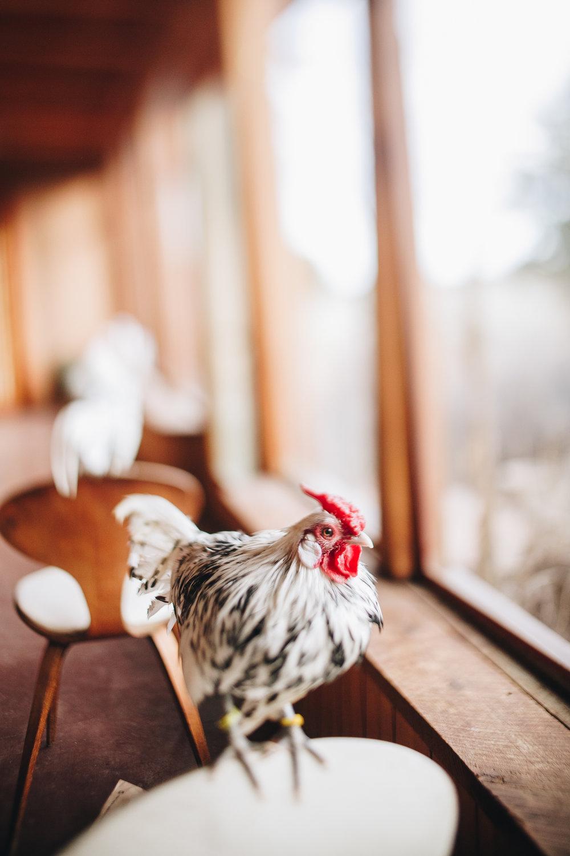 raven-chickens-7892.jpg