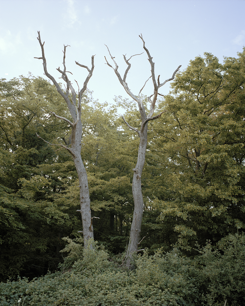 Two dead oaks at the head of the forest.