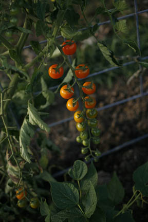 aa_tomatoesLTR.jpg