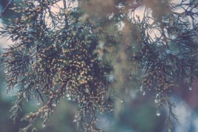 pine.jpeg
