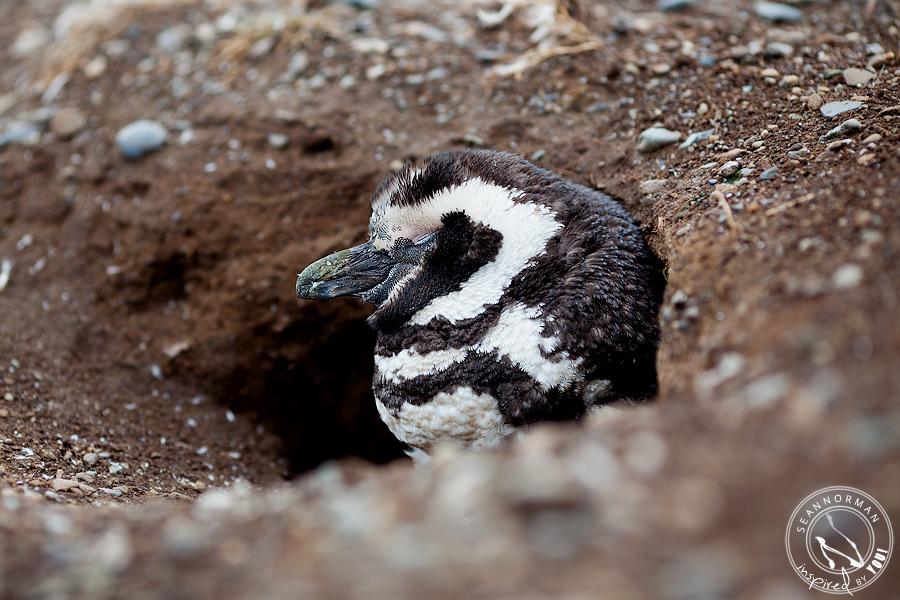 punta arenas chile magellanic penguins magdalena island