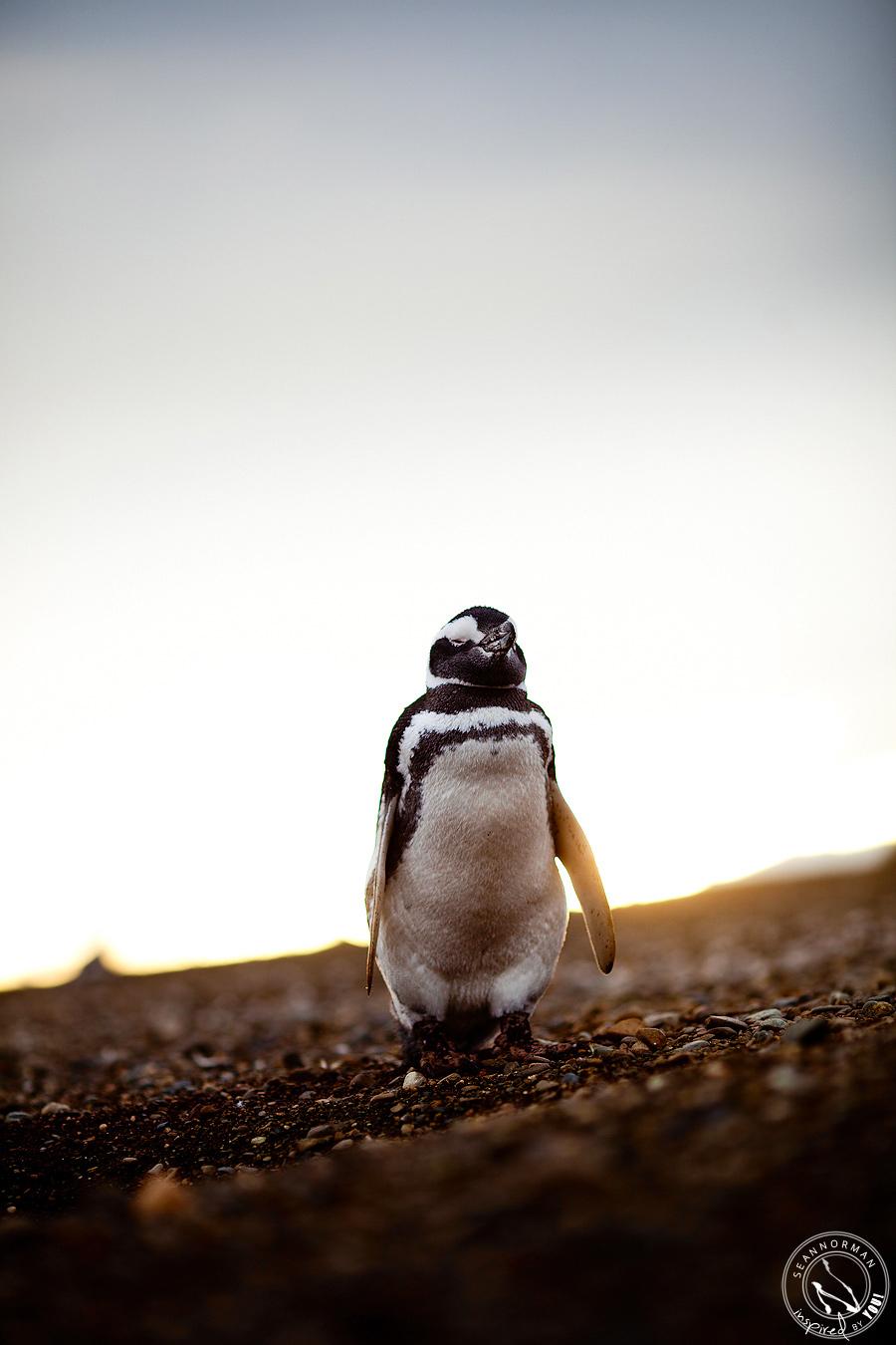 punta arenas chile penguins magdalena island