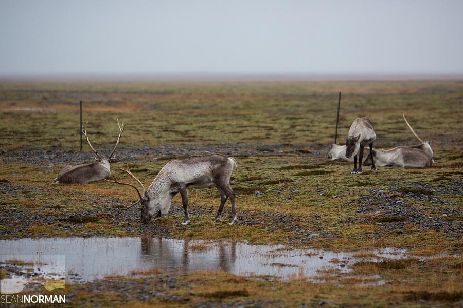 reindeer iceland
