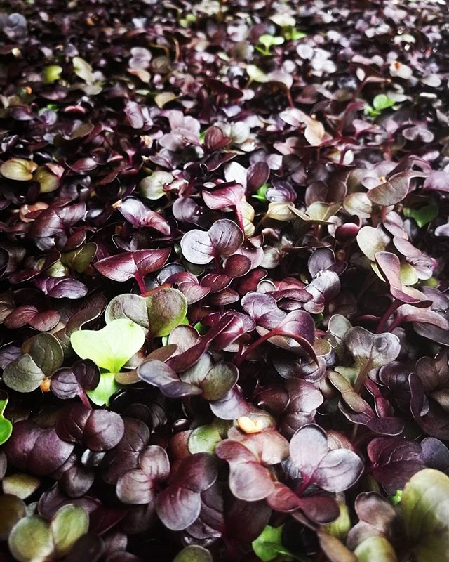 Look how gorgeous all of these micro purple radishes are! Beautiful produce grown sustainability under the streets of London by @growing_underground . . . . . #microgreens #food #sustainability #gardening #farming #purple