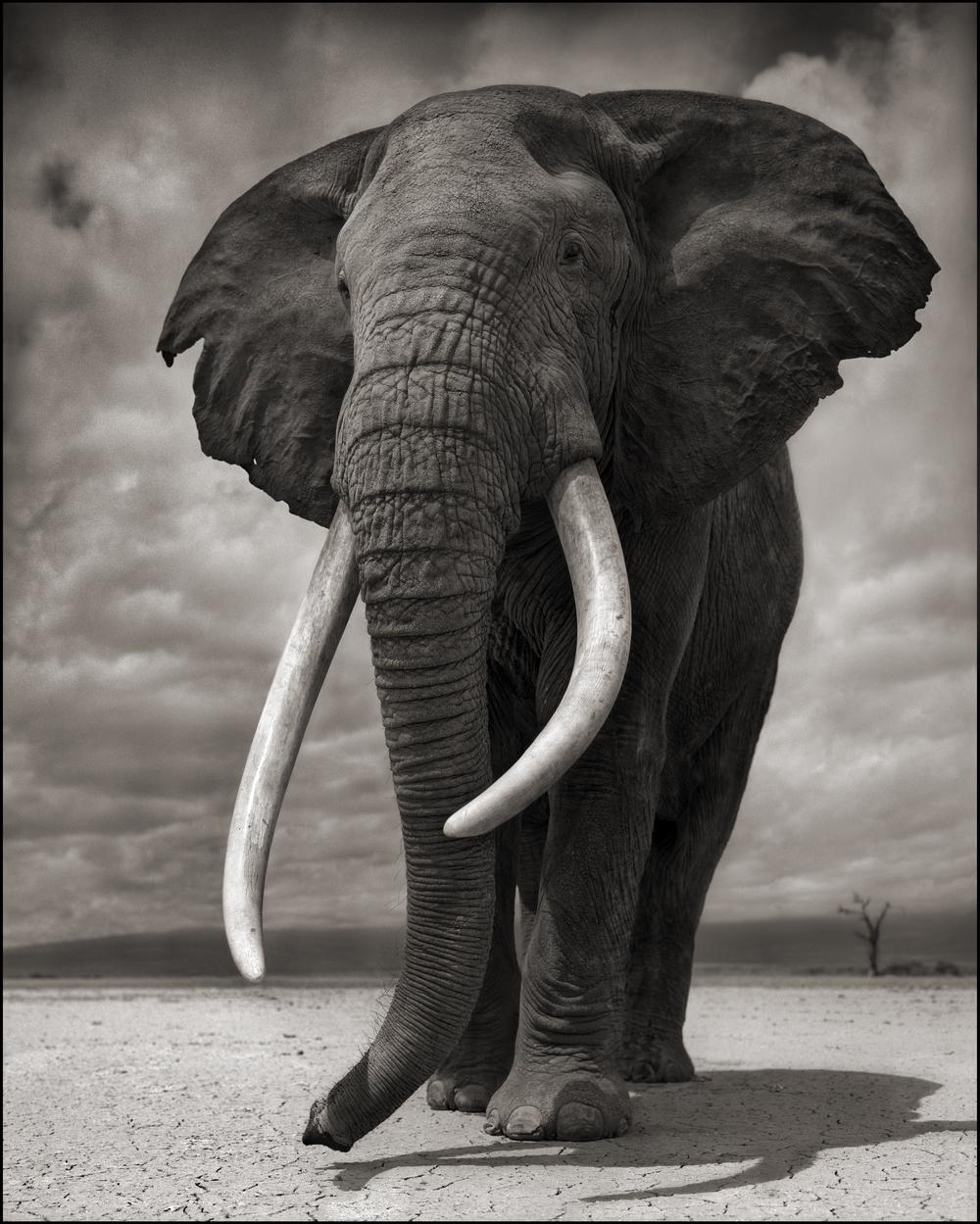 Elephant on Bare Earth 10inW.jpg