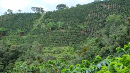Coffee Plantation in Palestina, Colombia.