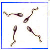 Sperm-eggs-synthetic-artificial