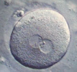 IVF-safety-embryo