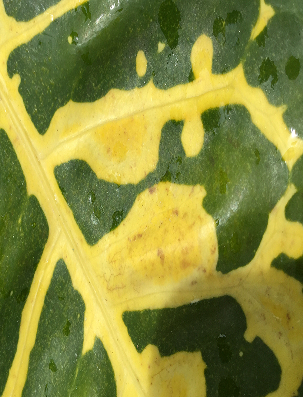 Croton Leaf Detail