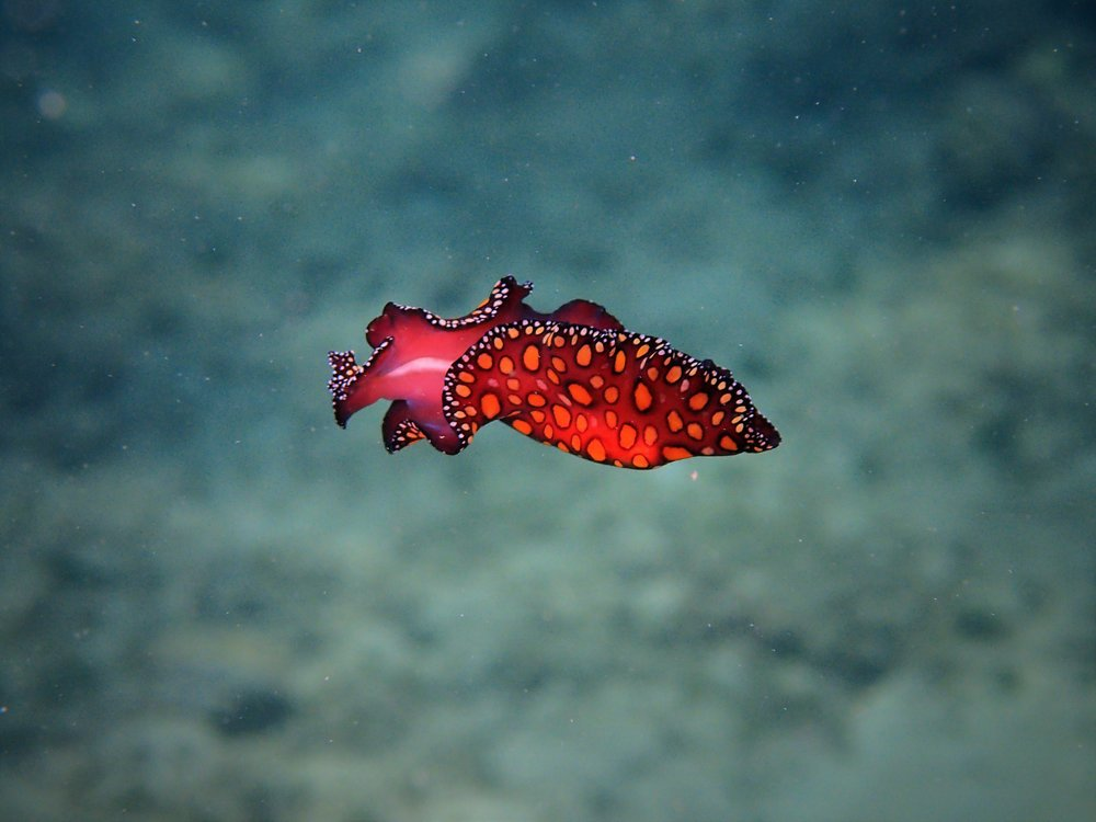 leopard sea slug2.jpg