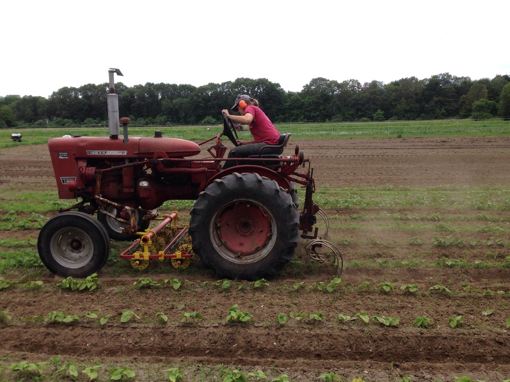 Lise drives the basket weeder over bean plants.