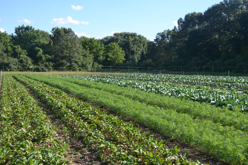 Fall beets, carrots and brassicas (Brussels sprouts, cabbage, cauliflower and kale) are looking strong.