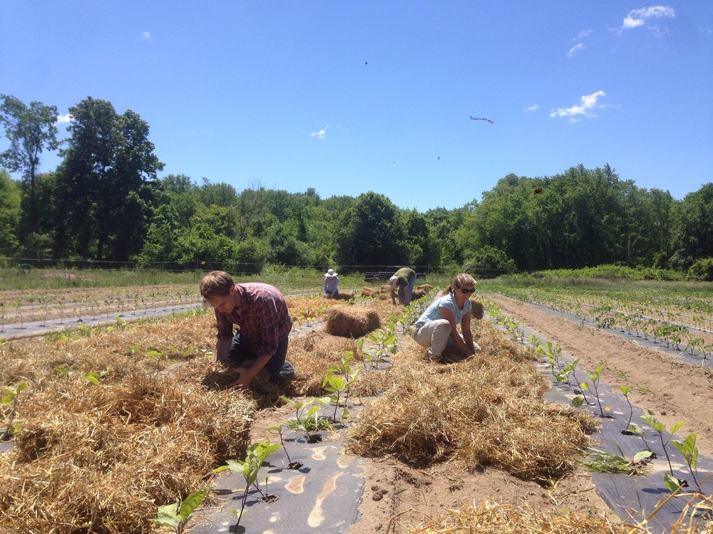 Wyatt, Dave, Ethan and Rebecca mulched the eggplant pathways with straw.