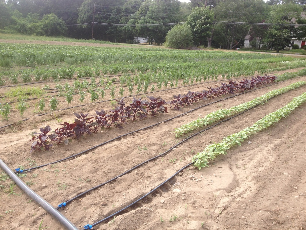Drip irrigation running in our pick-your-own flower field